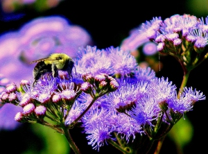 Bumble Bee & ageretum