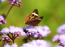 Common Buckeye2