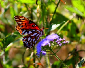 Gulf Fritillary Butterfly2